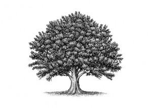 oak tree-